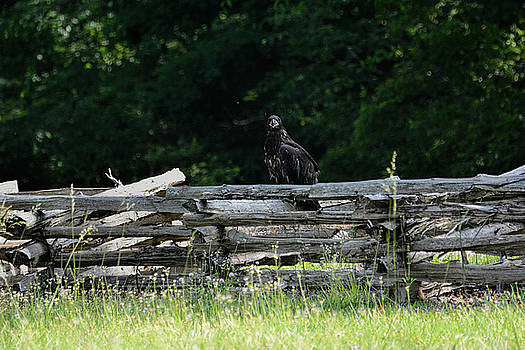Juvenile Bald Eagle Sitting On Fence Shiloh Tennessee 052120153134 by WildBird Photographs