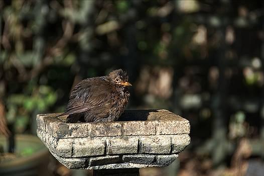 Juvenile Blackbird by Chris Day