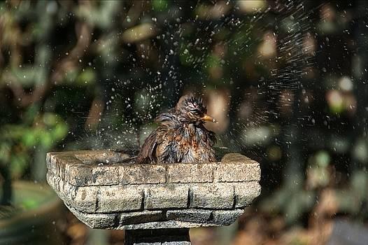 Juvenile Blackbird Washing by Chris Day