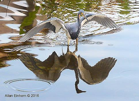 Juvenile Blue Heron by Allan Einhorn