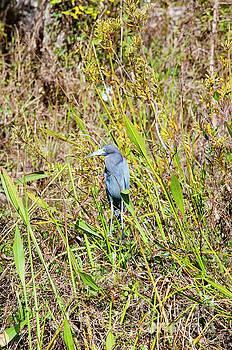 Bob Phillips - Juvenile Blue Heron