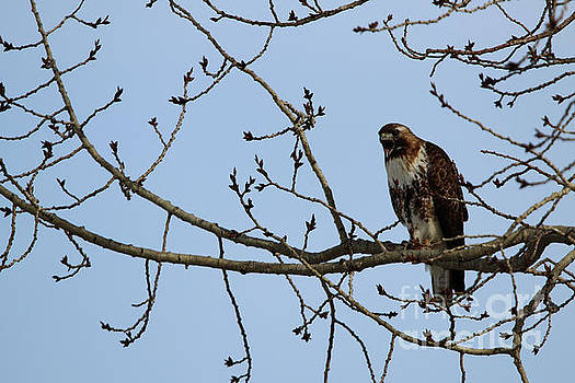 Juvenile Borealis Red-tailed Hawk by Alyce Taylor