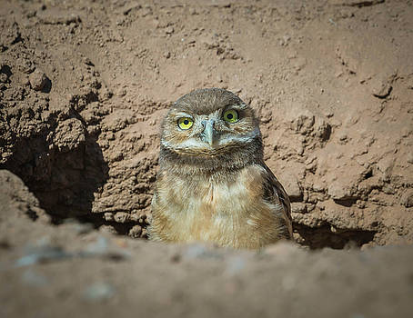 Rosemary Woods-Desert Rose Images - Juvenile Burrowing owl-IMG_164817