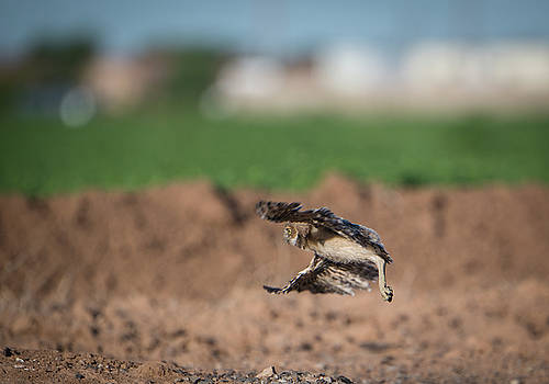 Gloria Anderson - Juvenile burrowing owl testing out his wings