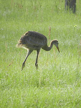 Juvenile Crane 1 by Amber Bobbitt