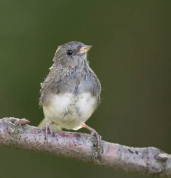 Dee Carpenter - Juvenile Dark Eyed Junco