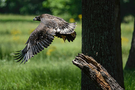Juvenile Eagle First Flight Shiloh Tennessee 052120152992 by WildBird Photographs