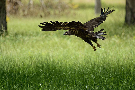 Juvenile Eagle First Flight Shiloh Tennessee 052120152998 by WildBird Photographs