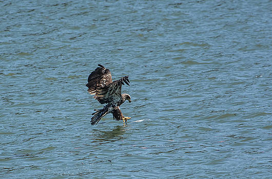 Juvenile Eagle Fishing Pickwick Lake Tennessee 031620161312 by WildBird Photographs
