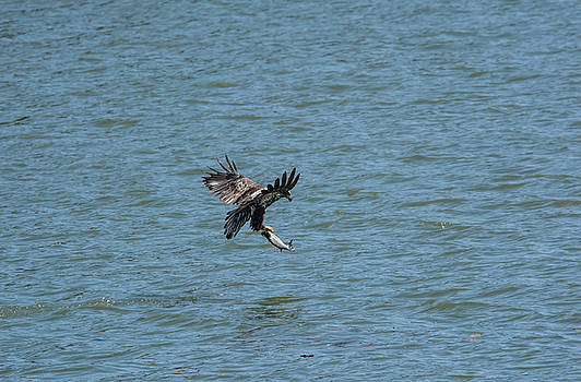 Juvenile Eagle Fishing Pickwick Lake Tennessee 031620161318 by WildBird Photographs
