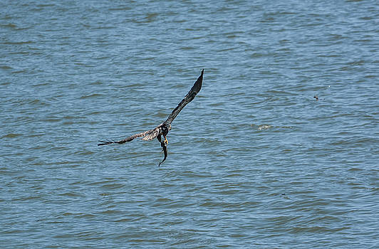 Juvenile Eagle Fishing Pickwick Lake Tennessee 031620161330 by WildBird Photographs