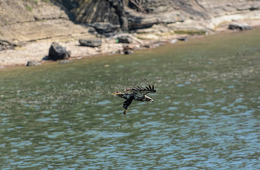 Juvenile Eagle Going Fishing Pickwick Lake Tennessee 031620161304 by WildBird Photographs