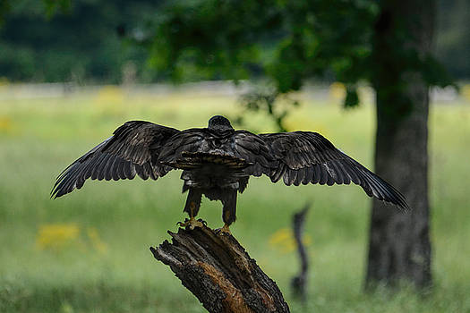 Juvenile Eagle On A Stump 052120152896 by WildBird Photographs