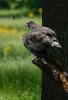 Juvenile Eagle Preparing To Fly Shiloh Tennessee 052120152988 by WildBird Photographs