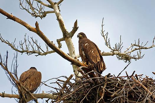 Juvenile Eagles by Peter Ponzio