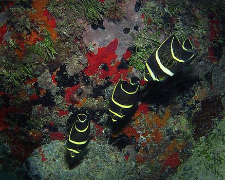Pauline Walsh Jacobson - Juvenile Gray Angelfish, U. S. Virgin Islands 2
