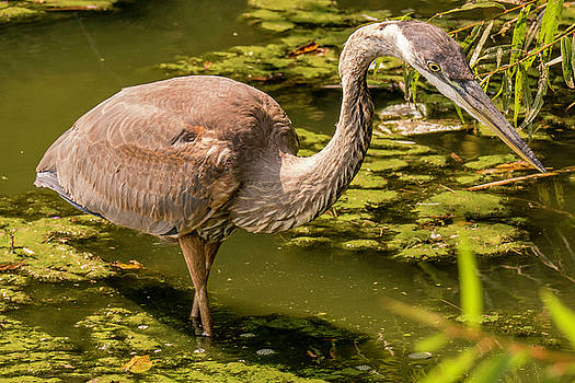 Juvenile Great Blue Heron by Jorge Perez - BlueBeardImagery