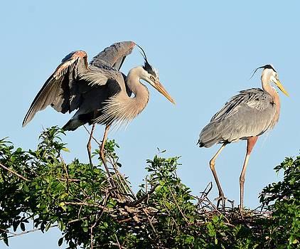 Patricia Twardzik - Juvenile Great Blue Heron Spreading Its Wings