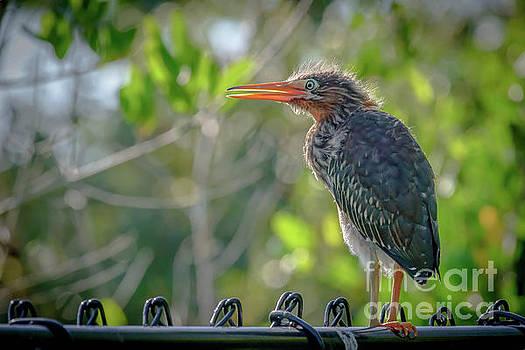Juvenile Heron - 5684a by Debra Kewley