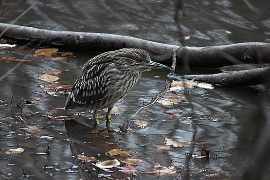 Juvenile Heron by Jake Danishevsky
