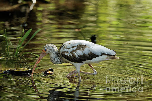 Juvenile Ibis by Natural Focal Point Photography