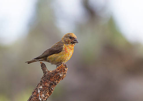 Juvenile Male Red Crossbill by Doug Lloyd