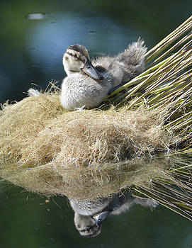 Juvenile Mallard Duck Relaxing by Jenny Carter