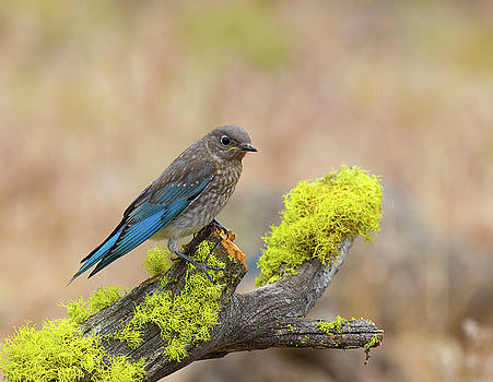 Juvenile Mountain Bluebird by Doug Lloyd