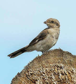 Dee Carpenter - Juvenile Northern Shrike