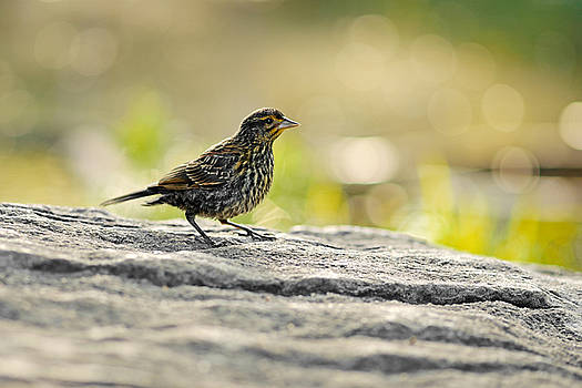 Juvenile Red-winged Blackbird by Asbed Iskedjian