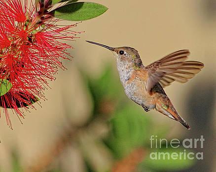 Juvenile Rufous Hummingbird by TN Fairey