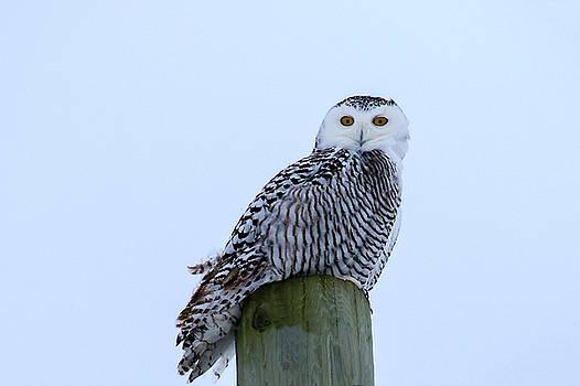 Gary Hall - Juvenile Snowy Owl