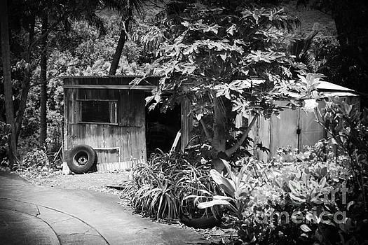 Kahakuloa Village Papaya Tree Maui Hawaii by Sharon Mau