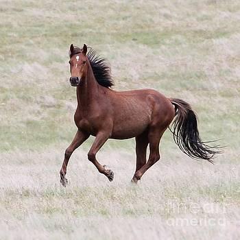 Kaimanawa Stallion by Judy Watson