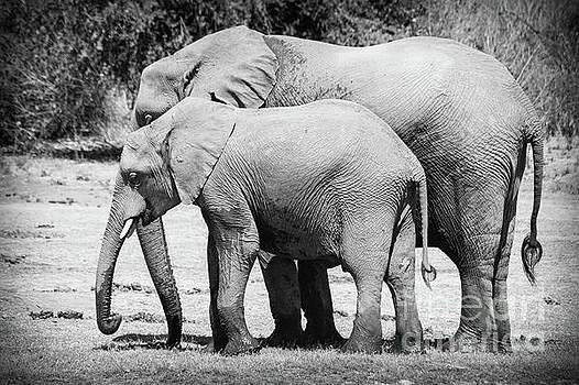 Kalahari Elephant Pair by OiLin Jaeger