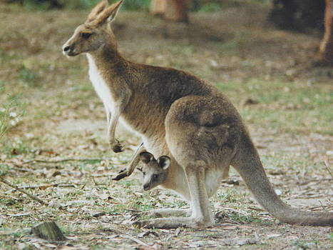 Kangaroo and Joey by Muri McCage