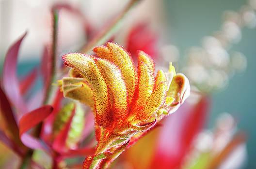 Kangaroo Paw Flower by Daniela Constantinescu
