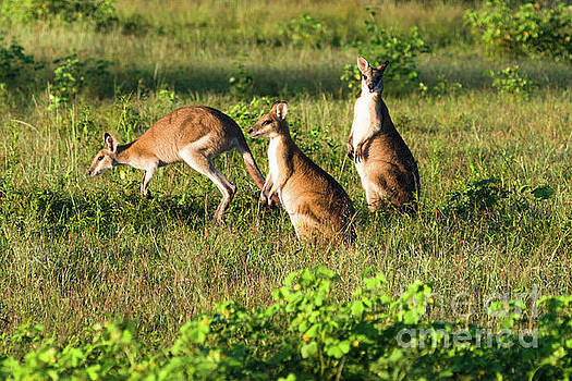Kangaroos by Andrew Michael