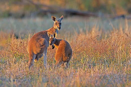 Kangaroos by Jean-Luc Baron