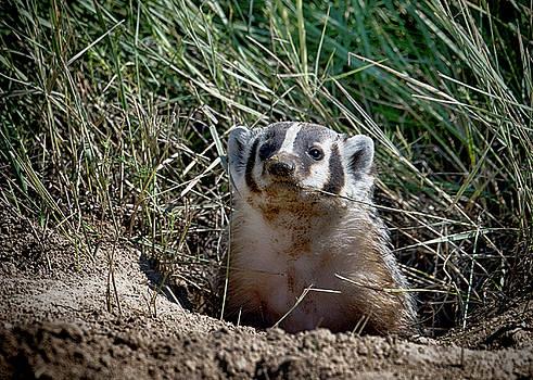 Kansas Badger by Donna Caplinger