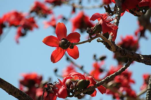 Kapok Flower by Theresa Willingham