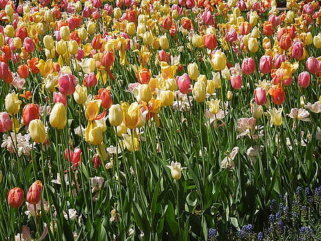Kathy's Tulips by Peg Toliver