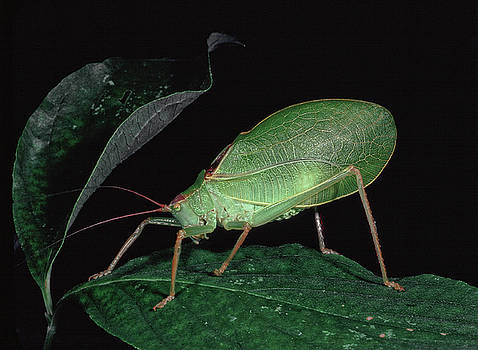 Katydid at night by Gary Shepard