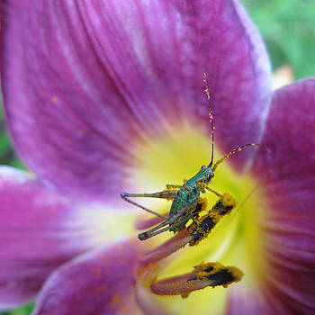 Katydid Nymph in Purple Lily by Lisa Shea