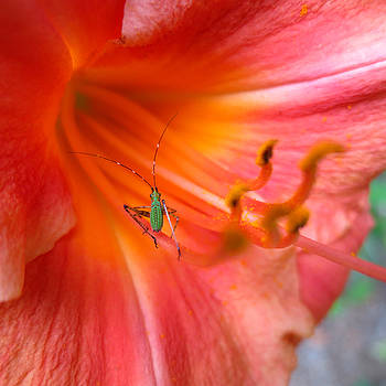 Katydid Nymph in Red Lily by Lisa Shea