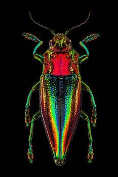 Kei Island Jewel Beetle by Gary Shepard