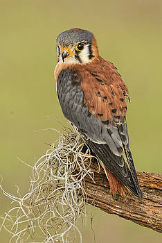 Kestral by Martha Lyle