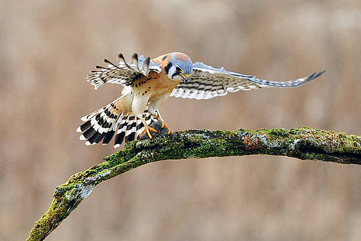 Kestrel Falcon Hunting on the Wing by Scott  Linstead