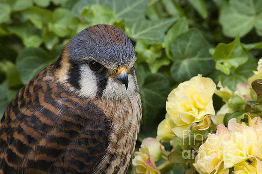Jill Lang - Kestrel in the Flowers