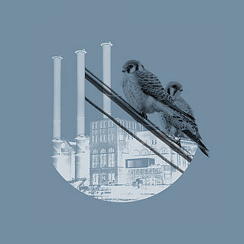 American Kestrels with Manchester Street Power Station by Peter Green